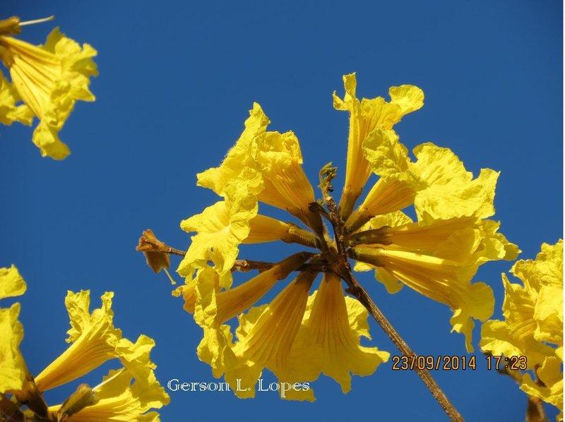 Ipê-amarelo 02