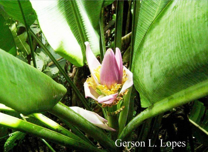 Musa ornata Roxb Bananeirade jardim, bananeiraornamental