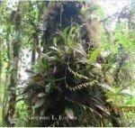 2-Anathallis linearifolia