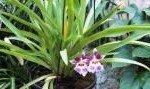 Miltonia spectabilis 02