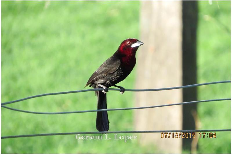 Pipira-vermelha