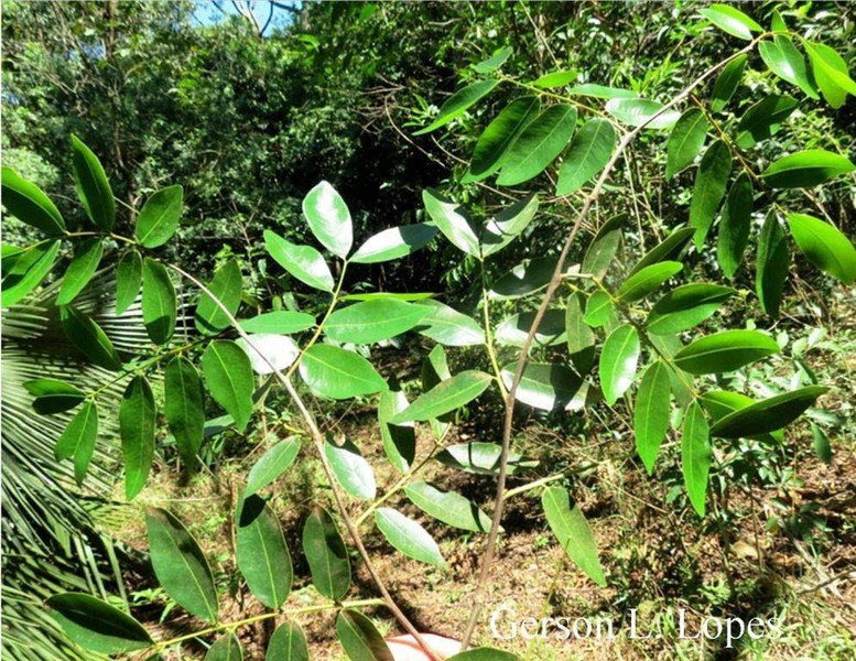 Copaifera   Etsy