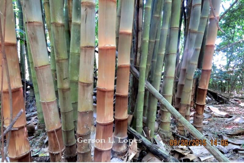 Bambu-gigante-1