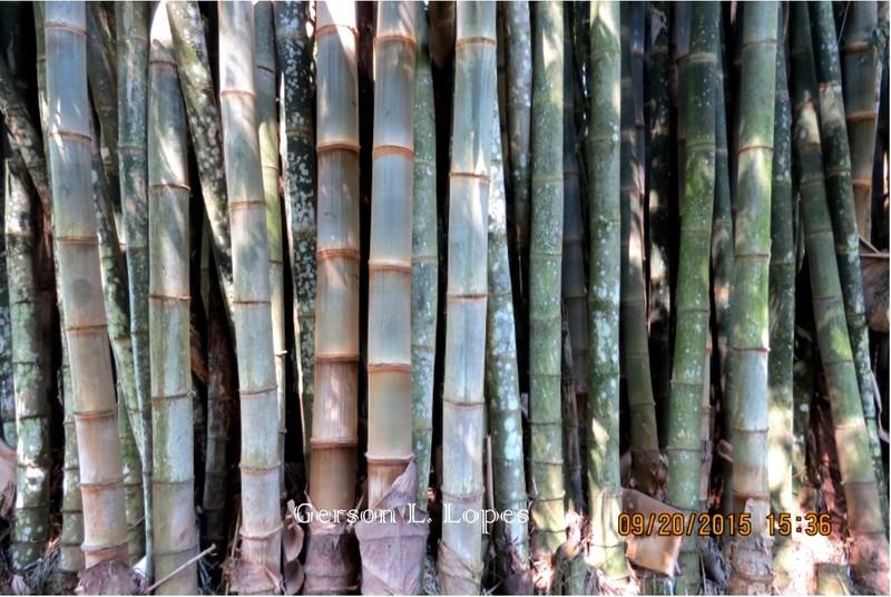 Bambu-gigante-2