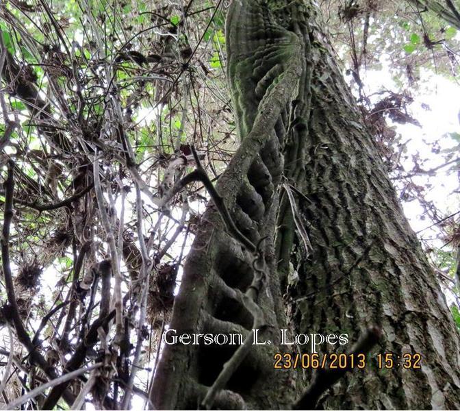 Bauhinia angulosa Vogel Escada-de-macaco  cb63ff9cf2