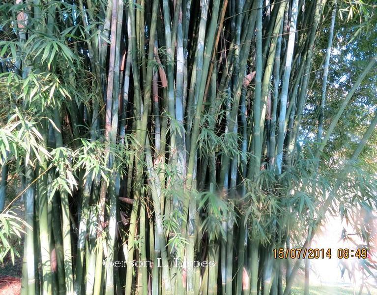 Bambusa tuldoides 1