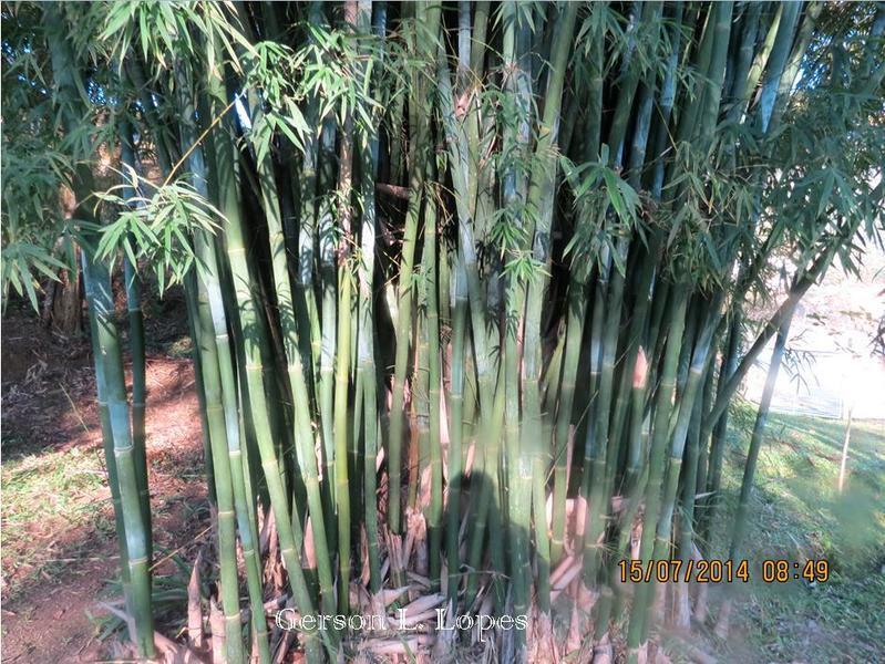 Bambusa tuldoides 3