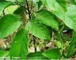 4-Sloanea-guianensis-Aubl.-Benth