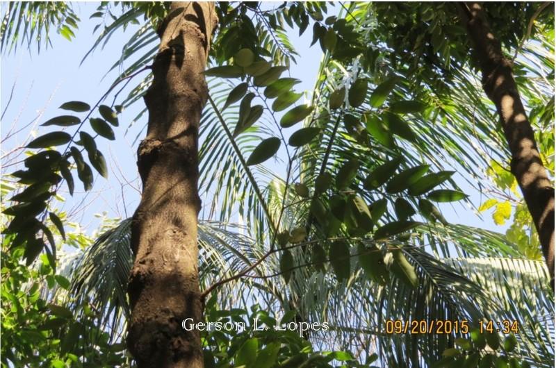 Pimenta-de-macaco-2